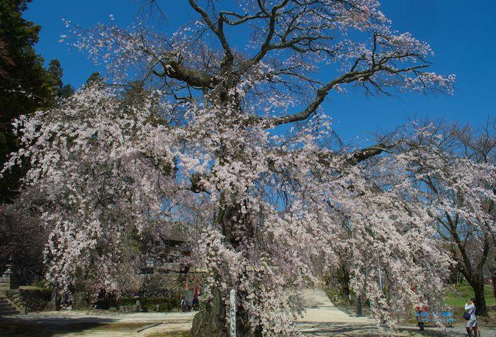 13-4-15-1瑠璃寺の桜