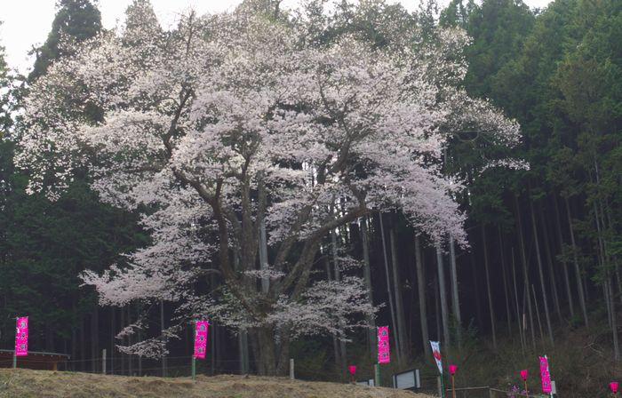 13-4-18-1嶽見桜