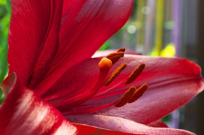 13-6-1-1自宅の庭に咲くゆり