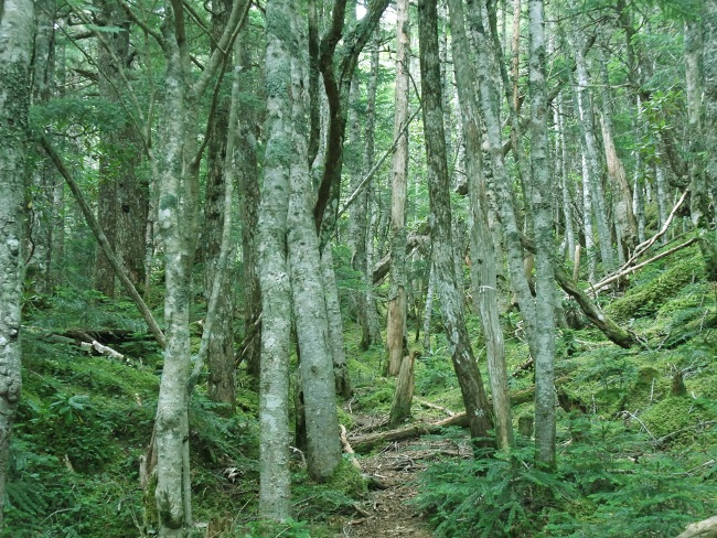 富士山ダケカンバの林