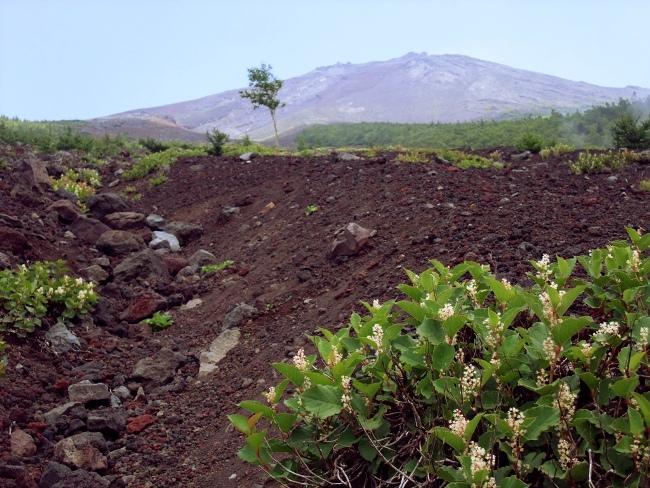 富士山オンタデの白い花