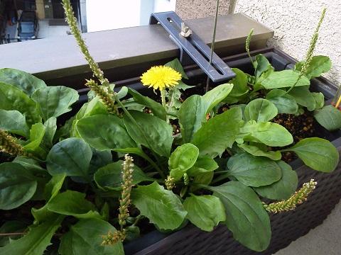 タンポポ開花20130527