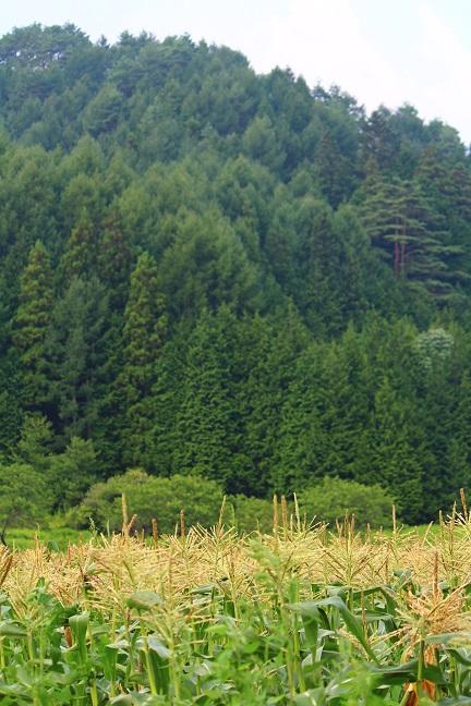 20130812トウモロコシ畑