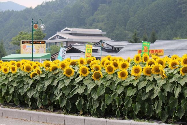 20130812ひまわり畑3