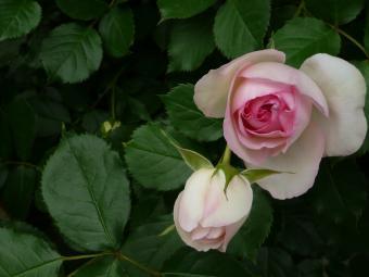バラが好き