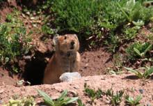 ゆきうさぎのブログ-ナキウサギ