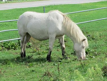 長門牧場①白馬