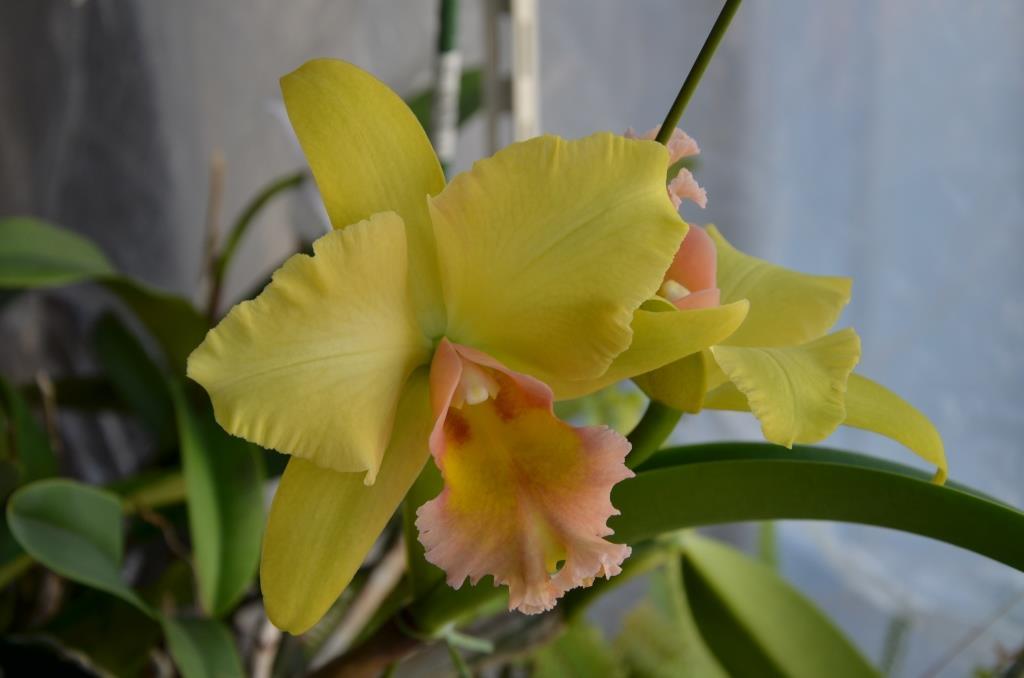 55.Rlc. Malworht 'Orchidglade' (OG)
