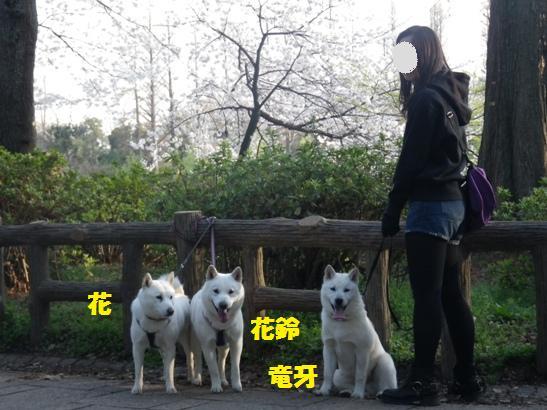 2013.3.28 井の頭公園4