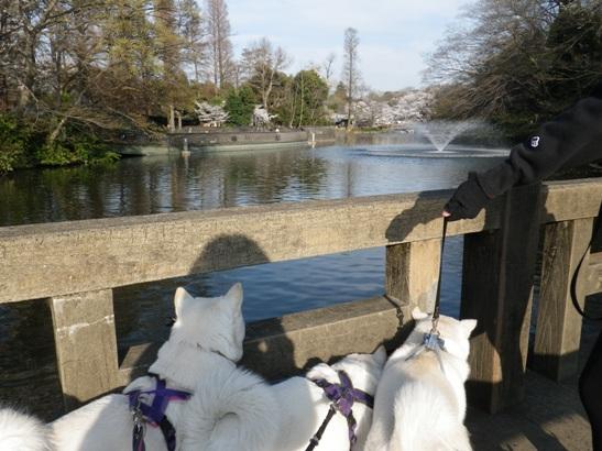 2013.3.28 井の頭公園1