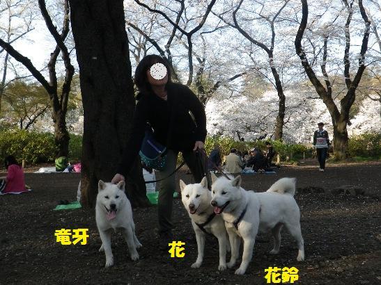 2013.3.28 井の頭公園2