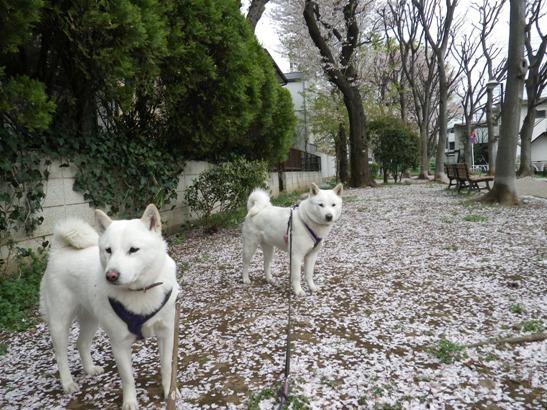 2013.4.1 散りゆく桜