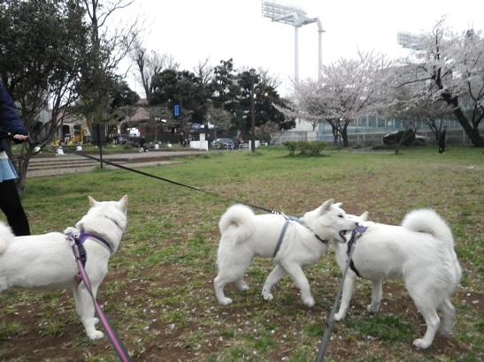 2013.3.30 明治公園にて
