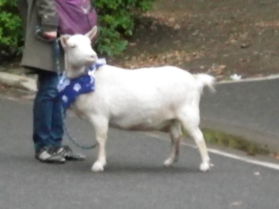 2013.4.21 山羊だ~
