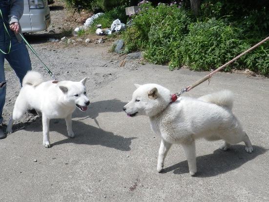 2013.5.19 五狼(右)&竜牙