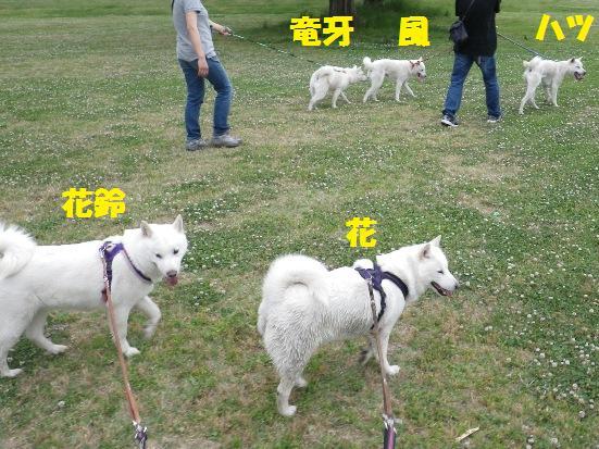 2013.5.28 大宮公園・白犬5頭