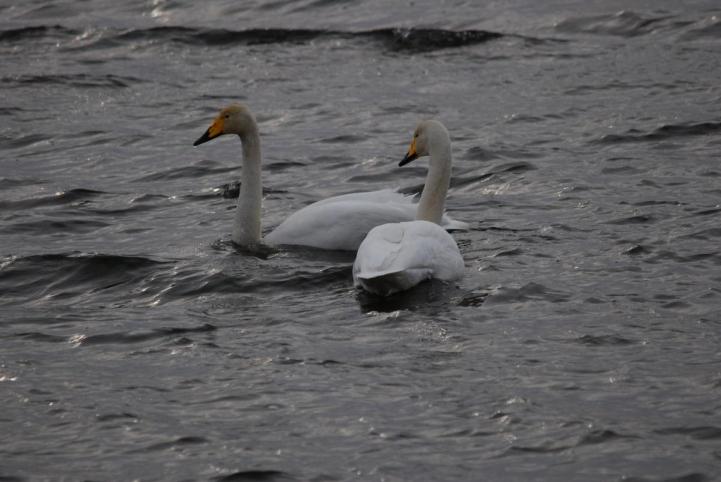 塘路湖の白鳥