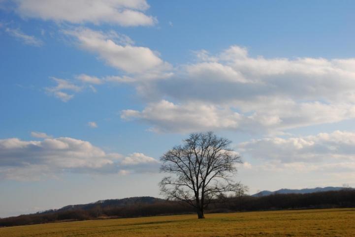 豊頃町 はるにれの木
