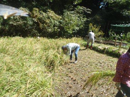 稲刈り25,10,17