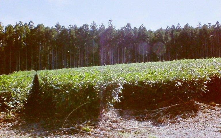 天空の茶畑-2