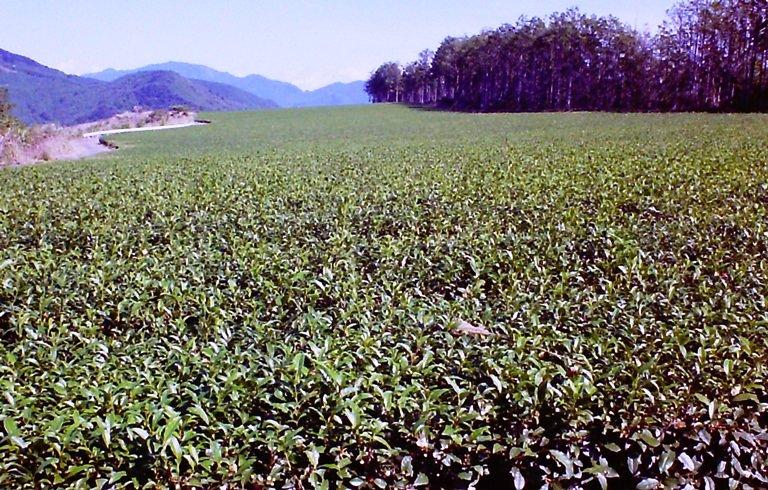 天空の茶畑-5