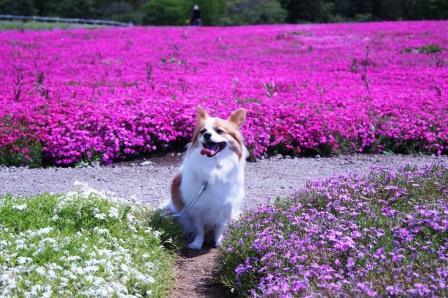 芝桜とラビ1