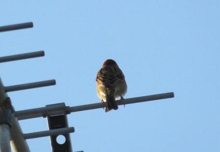 雀と鳩 004