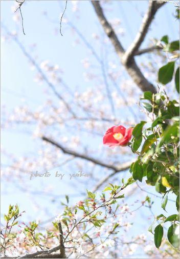 桜0405-4