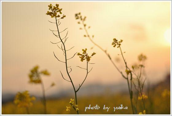 菜の花411-2
