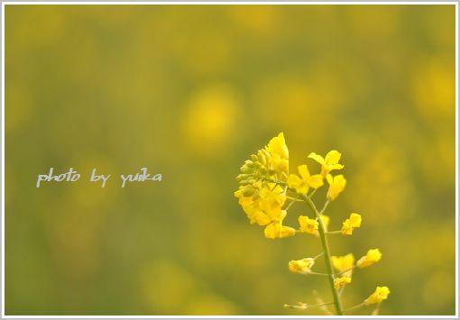 菜の花411-3
