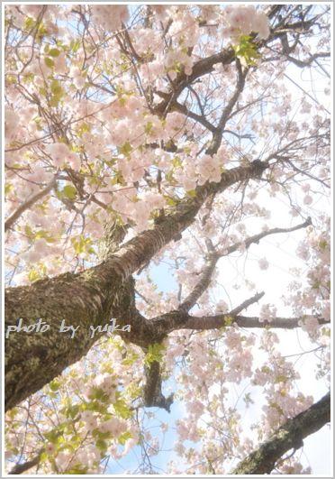 八重桜413-1