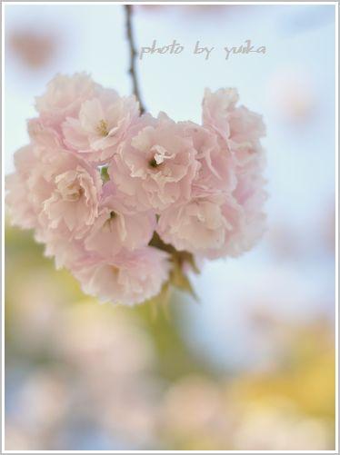 桜八重411-1