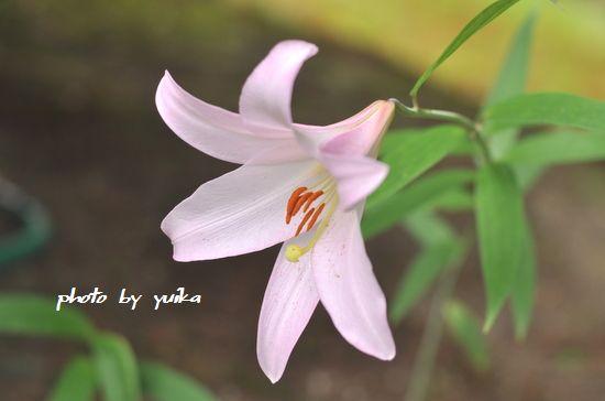 ササユリ601-5