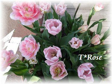 fuwarin T*Rose