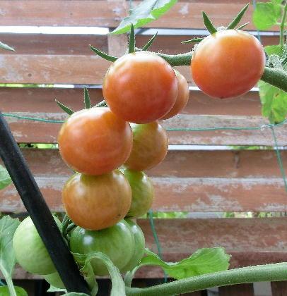 130913-今年のトマト-2