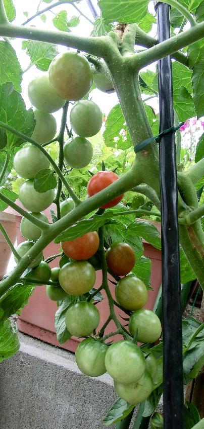 130913-今年のトマト-3