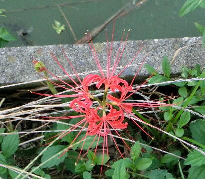 131007-公園の花-2