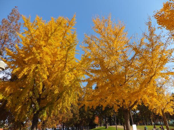 公園の公孫樹