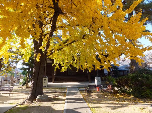 護念寺の公孫樹
