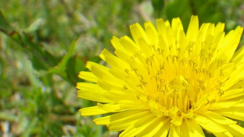 道端の何気ない花の代名詞タンポポ