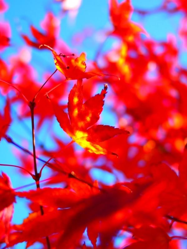 紅葉燃ゆる