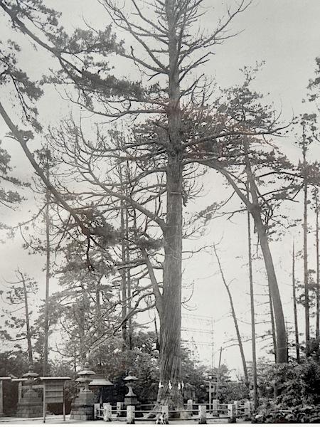 「道灌杉」