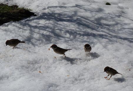 雪の上のすずめ