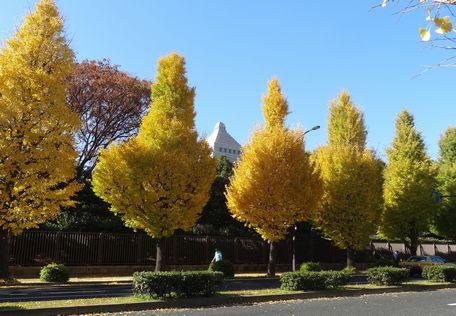 国会前のイチョウ並木