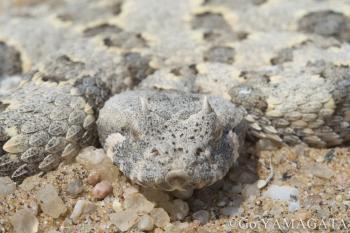 ホーンドアダー Horned Adder Bitis caudalis