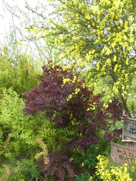 スモークツリーとエニシダ