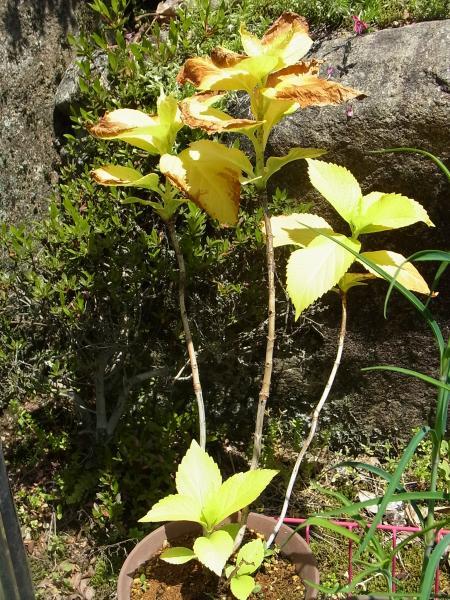 コゲた黄金葉