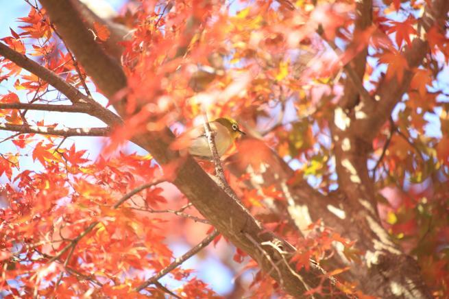 鎌倉紅葉と江ノ電+070_convert_20141210023022