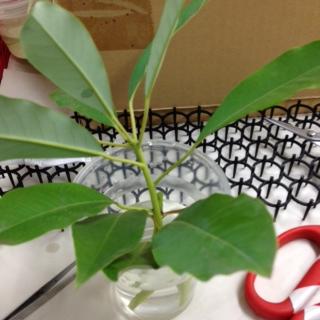 ゆずり葉とはこんな葉です