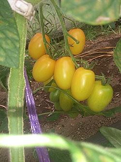 tomato-y-aiko.jpg